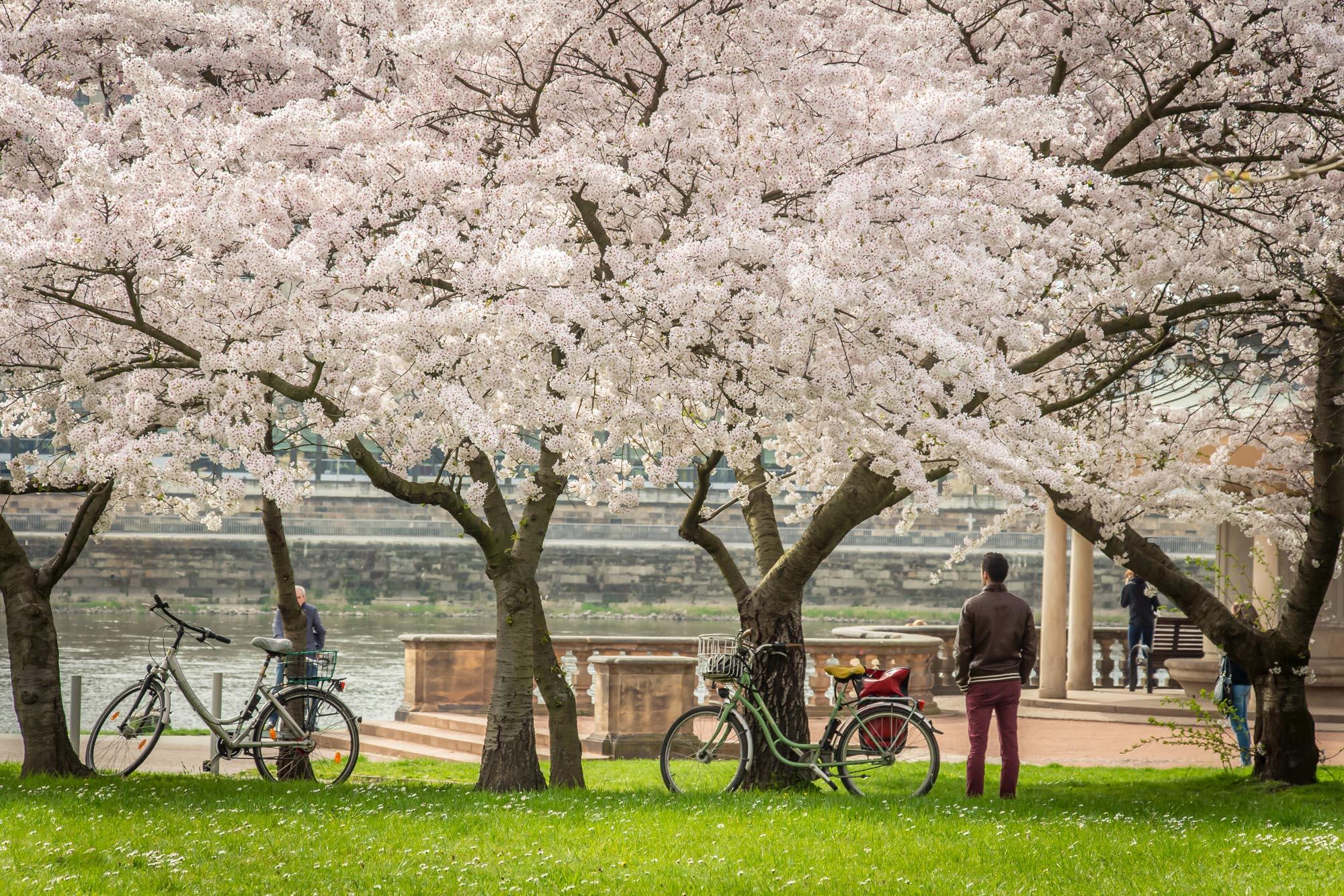 Frühlingsgefühle bei der Kirschbaumblüte am Neustädter Elbufer in Dresden.. Ein beliebter Foto-Spot für Frühlingsbilder.