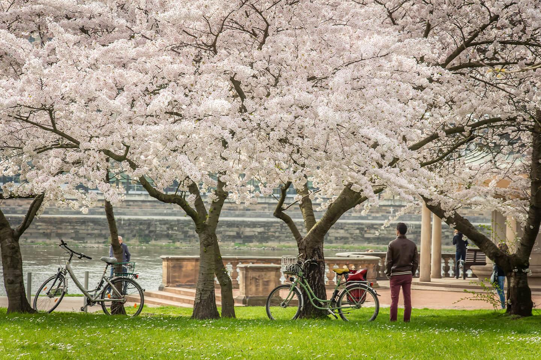 Blütenbäume am Neustädter Elbufer. Frühling in Dresden.