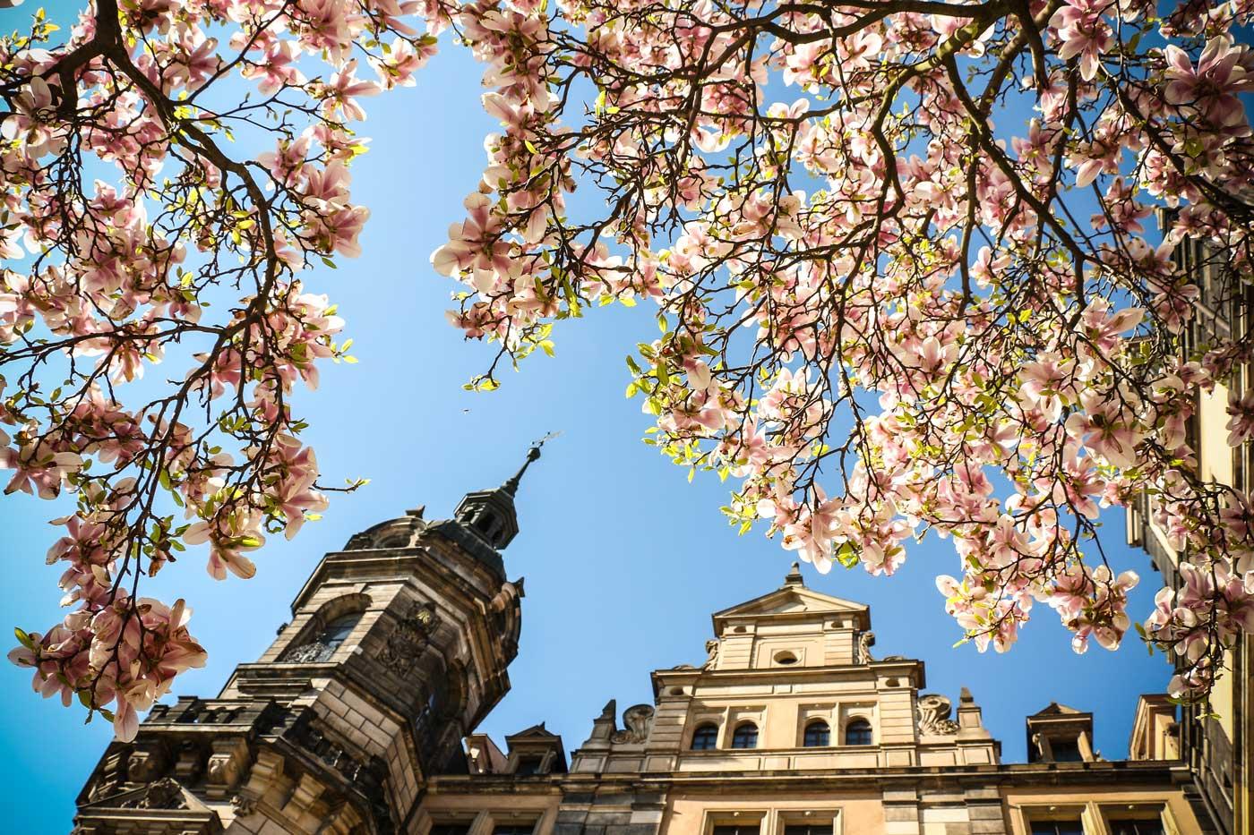 Blick in die blühende Magnolie am Dresdner Residenzschloss